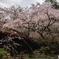 吉野水分神社の枝垂れ桜