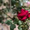 赤いバラは夏を呼ぶ‥
