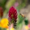 ミツバチさんも赤が好き‥