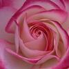 薔薇 ジュビレ デゥ プリンス ドゥ モナコ 3