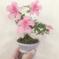 ミニ盆栽、咲きました(^^)