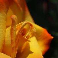 人気のバラ