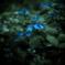 幻夢・蒼い紫陽花の咲く森