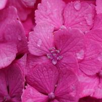 紫陽花 -雨上がり-