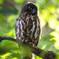 緑杜の鳥(アオバズク)(4)