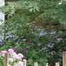 紫陽花の窓辺