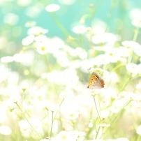 チョウ 花となる