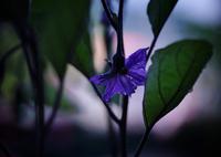 茄子・・・の花 2