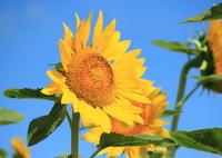 向日葵の花❀