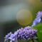 額紫陽花(薄紫)