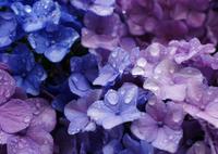 紫陽花 49