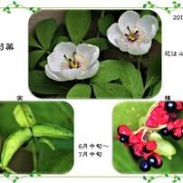 山芍薬・花から種へ