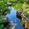 真夏の鯉(^-^;