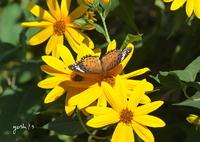 写真歌:菊芋に蝶2