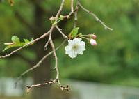 四季桜咲いたよ~~!