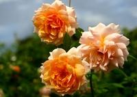 秋のバラ 1