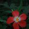 熱帯の極赤花…