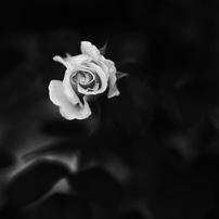 薔薇の造形