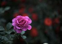 _roze:sad