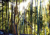 季節外れの竹林