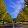 秋天の銀杏並木