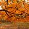 秋黄の枝張り