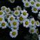 寺庭の秋花…5