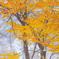 Snow yellow leaves