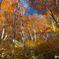 秋の午後 橅森Ⅰ