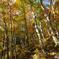 秋の午後 橅森Ⅱ