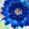 青いガーベラの印象