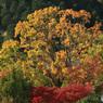 大きな黄葉樹