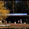 農機具小屋と蝋梅