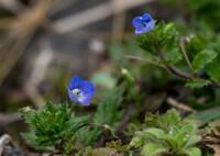 早や、春を告げる花‥オオイヌノフグリ