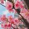 20200217_河津桜満開