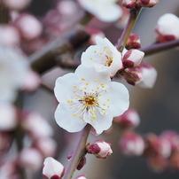 梅の花その10
