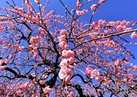 快晴の元に広がる枝垂れ梅