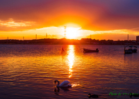 夕日と白鳥..