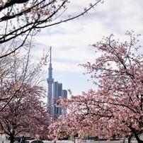 2020 コロナ自粛の桜~ⅰ