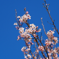桜?その1