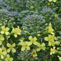 春です! 9034 ブロッコリーの花