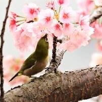 2020 コロナ自粛の桜~ⅱ