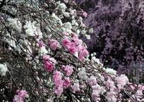 源平咲き枝垂れ桃