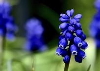 ムスカリ・鮮やかな紫