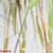 ホソミイトトンボ越冬型連結態
