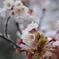雪化粧した桜04
