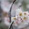 雪化粧した桜05