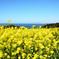 能古島2020 菜の花③