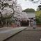 サクラ咲く神社