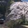 桜の出迎え